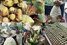 30 FRESH SEEDS : Pseudolithos mixed seed rare / cactus succulent