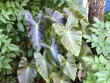 Colocasia Aloha ° Oreille d'éléphant ° 1 plant en godet