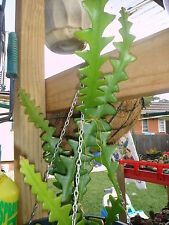 CRYPTOCEREUS  ANTHONYANUS ( NON ESTABLISHED- 25CM-30CM cutting)