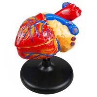 EB_ FX- Anatomical Human Heart Model Medical Cardiovascular Anatomy Teaching Too