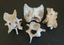 Lot Of 4 Weathered Deer bone Vertebrae For Craft Projects Or Decor nature found