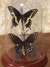 Black Swallowtail,  pair Butterfly Dome