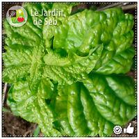 100 Graines de Basilic à feuilles de laitue ! SEB-004