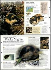 Norway Lemming #135 Mammals - Discovering Wildlife Fact File Fold-Out Card
