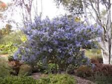 Säckelblume, schöner blaublühender Zwergstrauch 30-40 cm