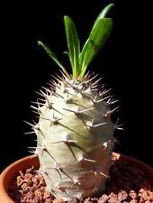 Pachypodium Lamerei Madagascar Palm 5 SEEDS  * exotic succulent * CombSH C51