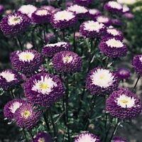 BOGO 50/% off SALE Details about  /Aster Single Alpinus White 50 Seeds