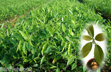 5pcs japanese cinnamon seeds dwarf trees seeds bonsai pot container garden plant