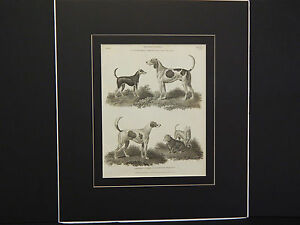 Dogs, Stag & Fox Hound, Smooth & Rough Terrier Quadrapeds c.1806