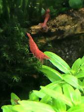 12 + 3 Fire Red Cherry Shrimp