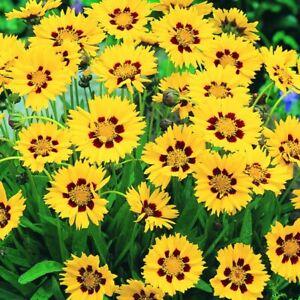 Coreopsis 'Sunfire' Large Plug Plants x 3. Perennial flowers.