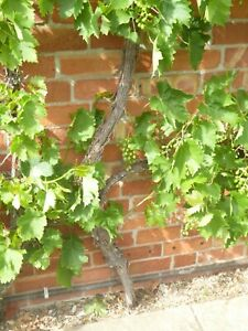 Organic Grape Vine Green Muscat Seedless Produces Sweet Aromatic Grapes