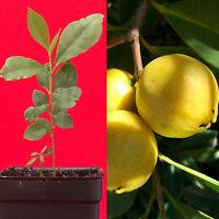 Lemon Yellow Cattley Guava Psidium Littorale Cattleianum Fruit Tree Potted PLANT