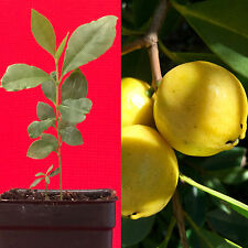 Lemon Yellow Cattley Guava Psidium Littorale Cattleianum Fruit Tree Potted PLANT
