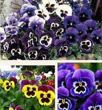 100Rare Blue Evening Primrose Easy to Plant Garden Flower Fashion Charm Seeds