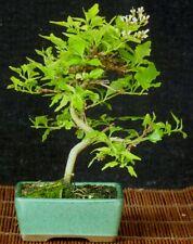 Bonsai - Premna japonica - Duftahorn - Shohin - Freilandbonsai - Outdoor
