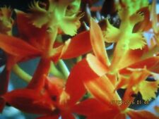 Epidendrum Crucifix Orchid Apricot Queen