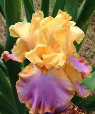 """1 Tall Bearded Iris """"Grand Canyon Sunset"""" - Large Rhizome, size #1"""