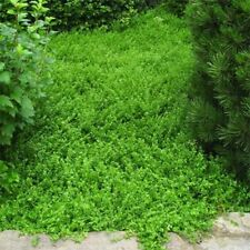 Green Carpet (Herniaria Glabra) 100 Seeds -
