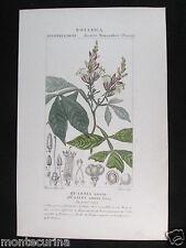1847 ca quassia amara botanica antica stampa acquerellata engraving botany D203