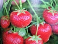 Strawberry plants ( 10) Marshmello 12cm  bare root  garden ready fast growing.