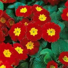 15+ Acaulis Red Primrose /.Primula Flower Seeds / Perennial