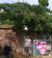 Schlafbaum Albizia julibrissin größte Mimose der Welt winterhart Seidenbaum Duft