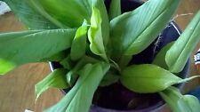 Turmeric plants/curcuma longa/bot nghe (6+6 Count bare roots) Khmer រមៀត rmiet,