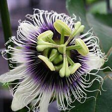 PASSIFLORA EDULIS (MARAKUJA) EXOTIC PASSION FLOWER FRUIT VINE (10 SEEDS)