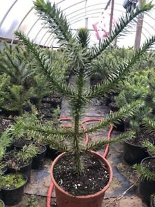 Chilenische Schmucktanne Andentanne Affenbaum Araucaria 70