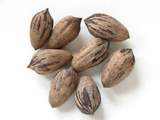 5 FRESH Pecan Nuts / Carya Illinoinensis - Just Harvested From Old Native Trees