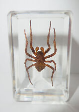 Ghost Spider Neoscona punctigera Insect Specimen Clear Paperweight Education Aid