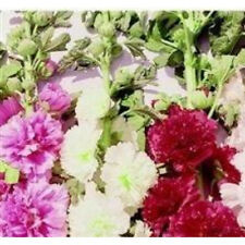 HOLLYHOCK Summer Carnival Mix 50 seeds colourful double flowers garden plant