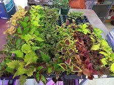 COLEUS - SUN TOLERANT MIXTURE - 12 LIVE PLANTS - PLUGS - SMALL STARTERS