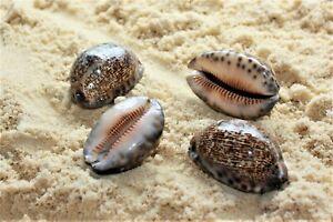 Arabian Cowry Cowrie Mauritia Arabica Sea Shells Mixed Assorted