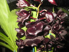 BIN- Monnierara Millennium Magic 'Witchcraft' AM/AOS Blooming size Orchid Plant
