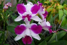 Lc Purple Cascade 'Fragrant Beauty', orchid plant