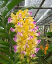 Aerides Houlletiana Orchid Species Plant Blooming size Fragrant CITES / PHYTO