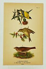 Plate 31 American Goldfinch,Pine Finch,Fox Sparrow Print 1890