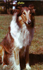Sable/ White Rough Collie Dog Portrait Lassie Look-a-Like Vintage 1950s Postcard