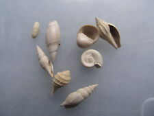 fossil shell - LOT GASTEROPODES DU CUISIEN SAINT GOBAIN