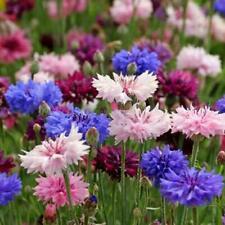 Cornflower Double Mix Seeds - Centaurea cyanus - Annual Flower Seeds