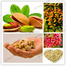 Big Nut Tree Seeds Plants Pistachios Chinese Pistacia Outdoor Fruit Garden Rare