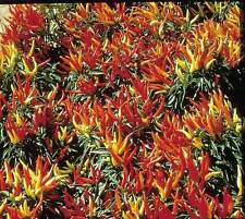 Free Shipping * 25 Premium Ornamental Chilly Chile Pepper Seeds