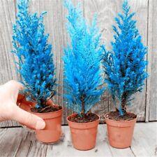 Italian Blue Cypress Tree Seeds Spruce Ornamental Plant Rare Perennial 50 Pcs