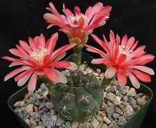 Gymnocalycium baldianum Dark green cactus w/ red flowers