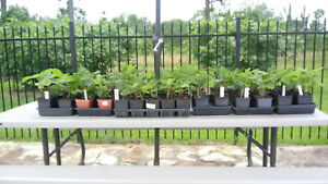 Fig Trees- Live Plants in quart pots. CLEARANCE SALE- $30 for 2 + Free shipping.