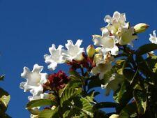Beaumontia grandiflora WHITE EASTER LILY VINE Seeds!