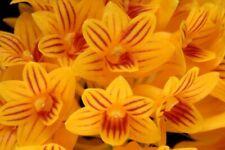 Orchid Species Dendrobium bullenianum Bloom Size