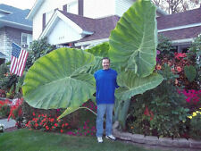 NEW 50 pcs Colocasia Plant Jacks Giant Elephant Ear Seeds